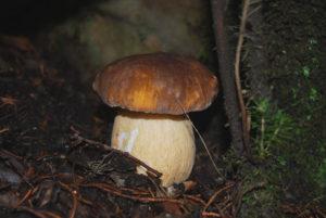 fungo_porcino_scorace